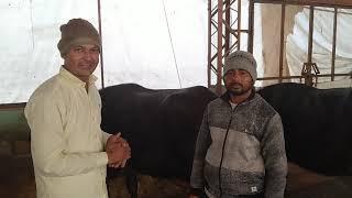 Sabse sasti aur acchi buffalo lene ke liye yaha sampark Karen phone number 9416070111