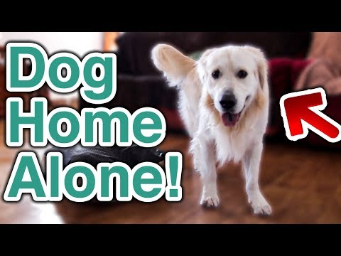What Does My Golden Retriever Do When Home Alone? [TRY NOT TO LAUGH]