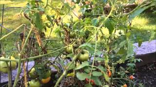 Why is my Tomato Plant dying?