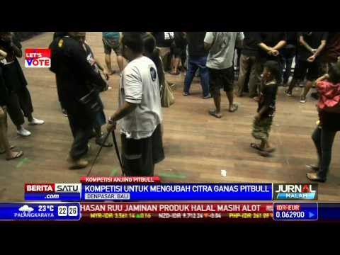 Bali Gelar Kontes Anjing Pitbull