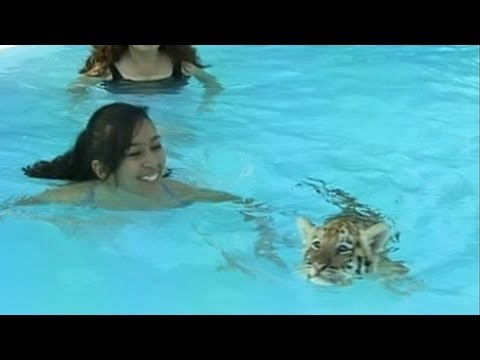Kids Swim With Tigers; Florida Animal Sanctuary Allows Tourists To Swim With Tiger Cubs