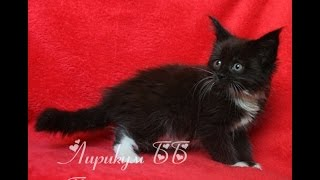 ЛИРИКУМ Бест Селлер Леди 1,5 месяца  - кошечка мейн-кун черная с белым