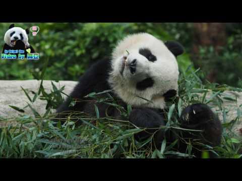 20170423 圓仔抓癢連拍 The Giant Panda Yuan Zai