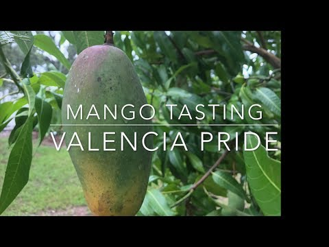 Florida Mango Tasting 2017 -Valencia Pride - YouTube