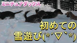 【ミニチュアダックス】楽しい雪遊び(*´▽`*)
