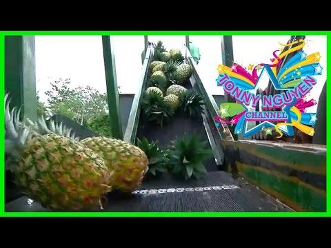 Máy thu hoạch Thơm (dứa) quá độc đáo。◕‿◕。Pineapples Harvesting MC ☁☼