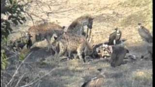 Hyenas and Vultures in South Luangwa, Zambia