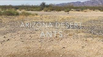 Arizona Desert Ants