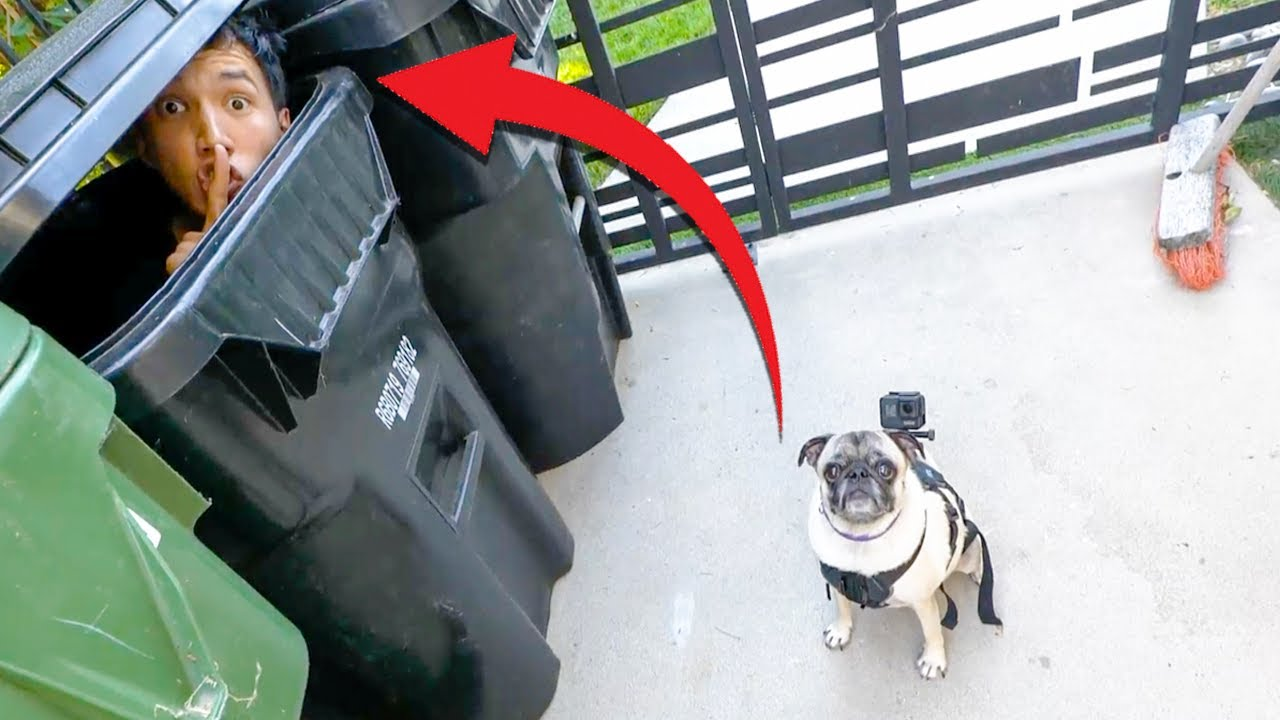Playing Hide And Seek With My Pug