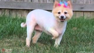 Lia - Pomeranian Rescue For Adoption In Chicago - Romp Italian Greyhound Rescue
