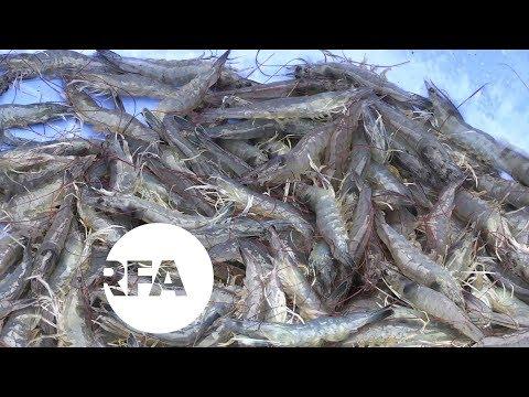 Vietnam's Shrimp Farmers Fish for Fortunes | Radio Free Asia (RFA)