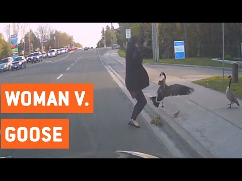 Geese Confronts Woman Trying To Help Them | Wild Goose Chase