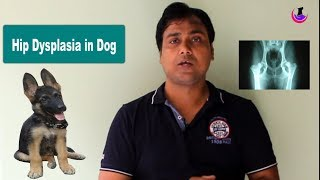 Hip Dysplasia in dogs: Influencing Factors ( Hindi )