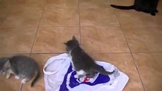 Видео смешные кошки и котята - Котята играют с пакетом