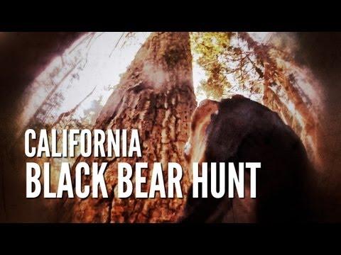 California Black Bear Hunt With Dogs   Tree Fallin'
