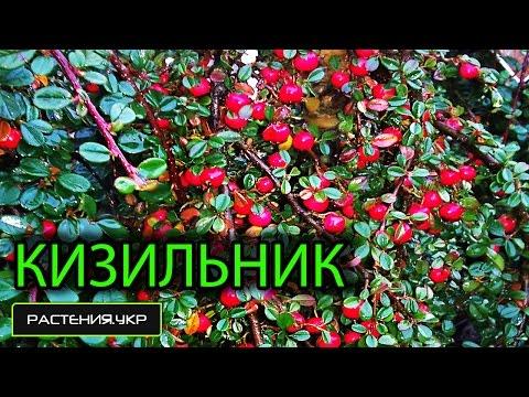 Кизильник - почвопокровное растение / Ботанический сад Харькова