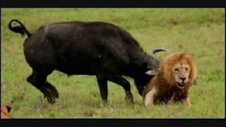 bufalo launches lion kill lion