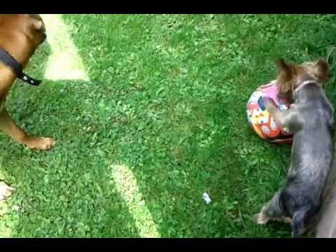 Dogs Playing Football | Who's The Boss? Pelé