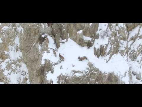 Himalayan Ibex of Pakistan