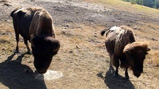 La Ferme aux Bisons Lapenne (Ariège) HD