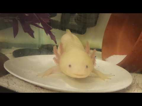 How to feed your Axolotl worms!