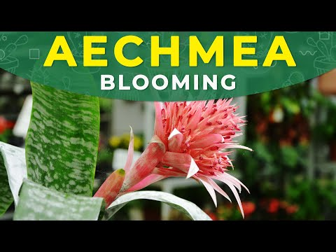 Make Aechmea Fasciata Bloom Again! | Flower development, care