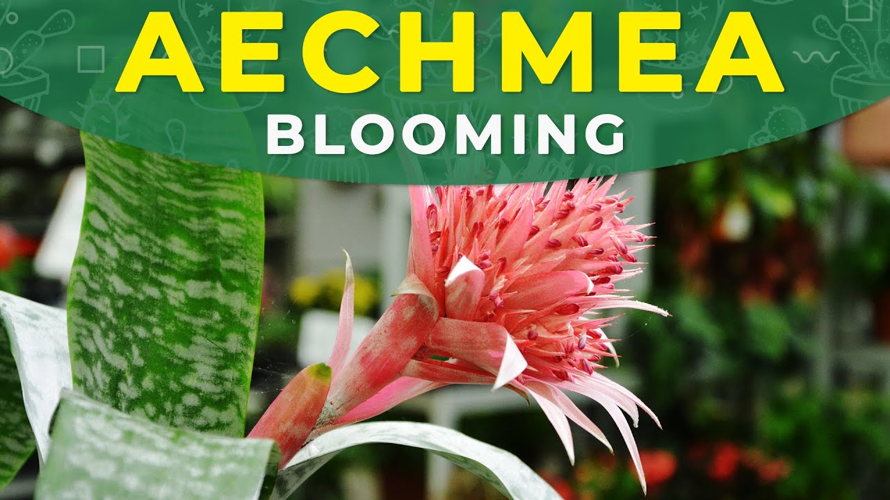 Make Aechmea Fasciata Bloom Again Flower Development Care Youtube