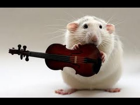 Funny Rat Pictures P Os