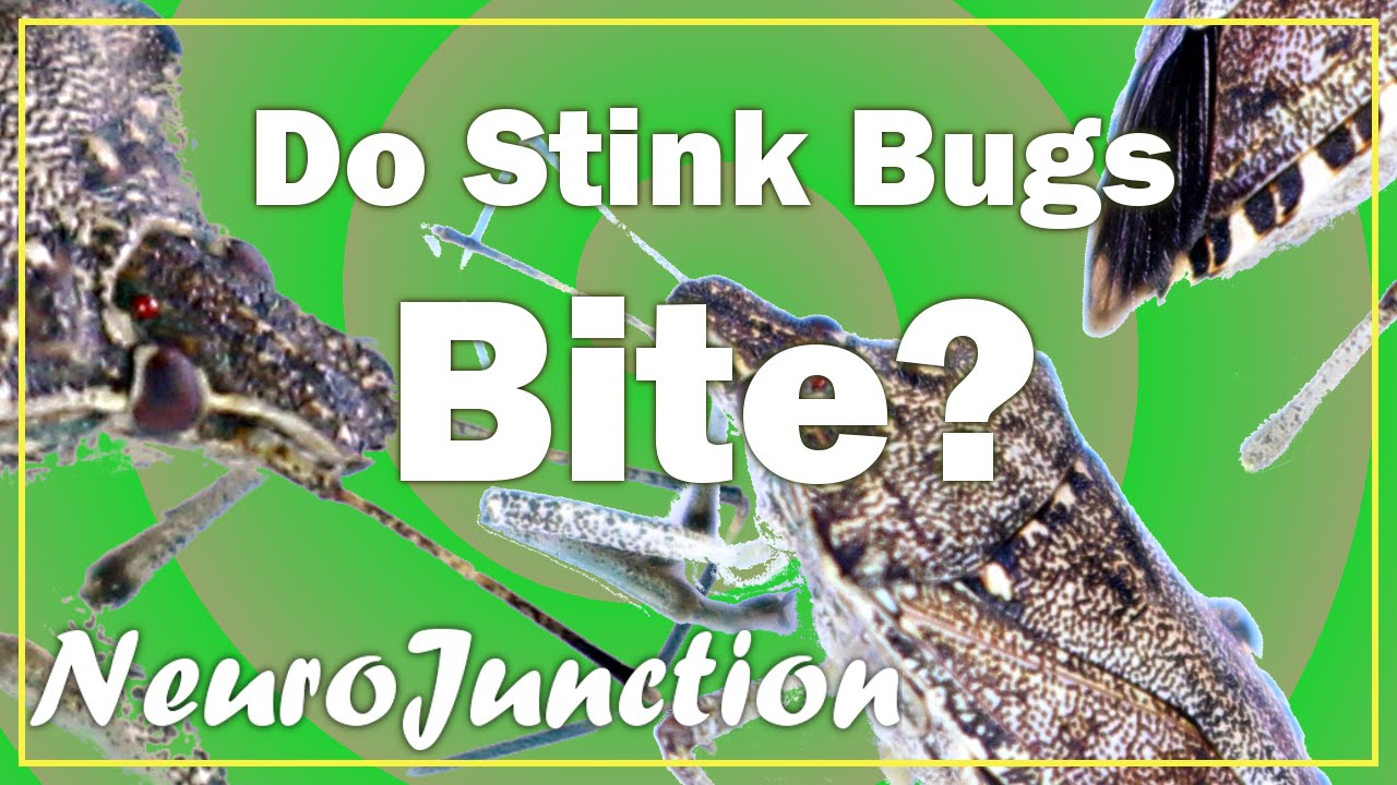 The Stink Bug Messenger