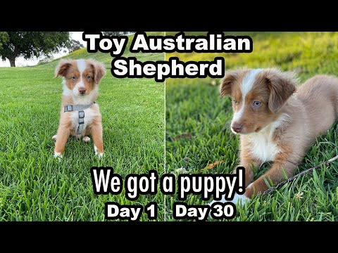 1 Month With A Toy Mini Australian Shepherd (Puppy VLOG And Review)