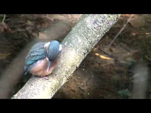 De verborgen wereld van de blauwe parel, de ijsvogel, natuurfilm