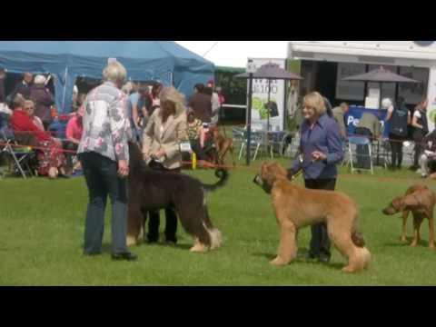 Blackpool 2016 - Afghan Hound Dog Challenge