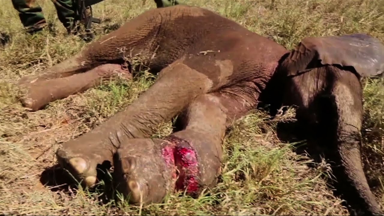 Critically Injured Elephant Calf Rescued By Wildlife Trust