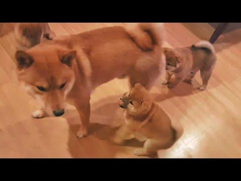 Potat-o-sitter MLIP / Ep 105 / Shiba Inu puppies