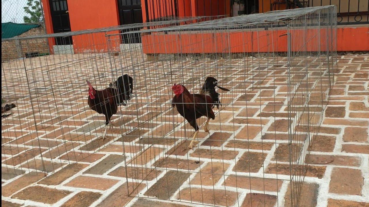 Hicimos pasillos para los gallos