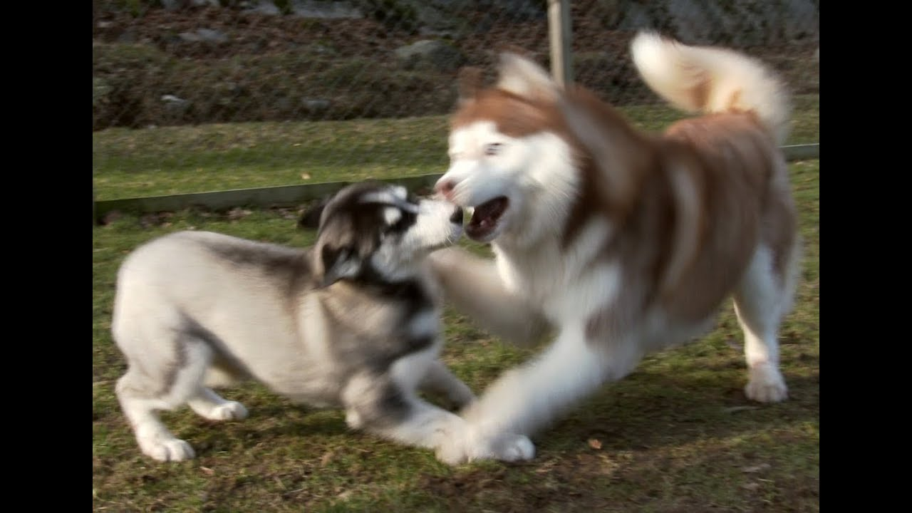 Max Born How Old >> Lihkku three months old Siberian Husky to meet the family - YouTube