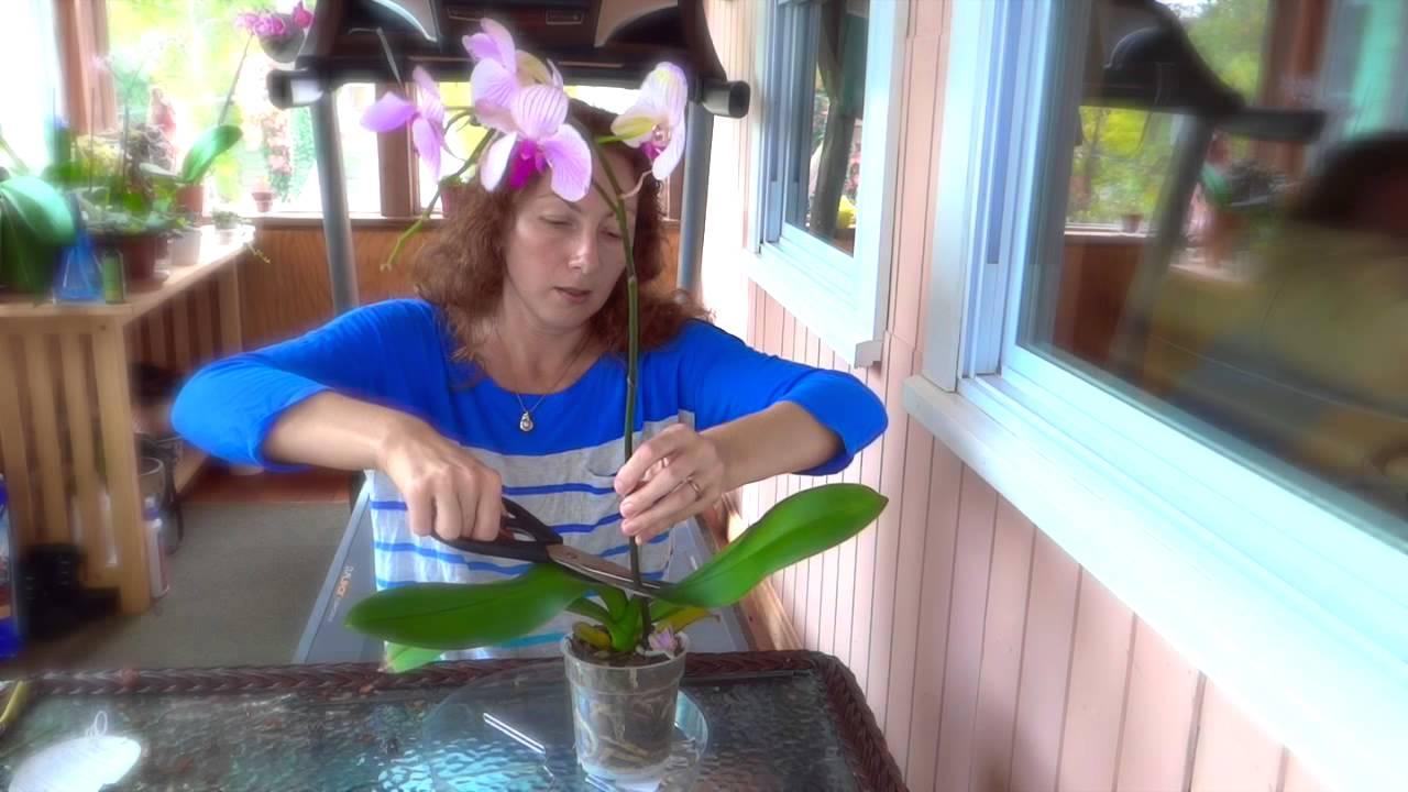 Можно ли отрезать корни у орхидеи