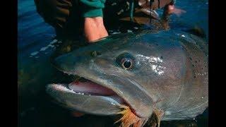 3 Ikan Terbesar Yang Pernah Dipancing