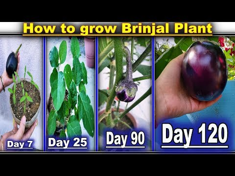 How To Grow Brinjal Plant In A Pot For Terrace Gardening (With English Subtitle)