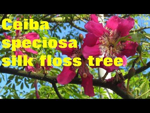 TREES:  Ceiba speciosa