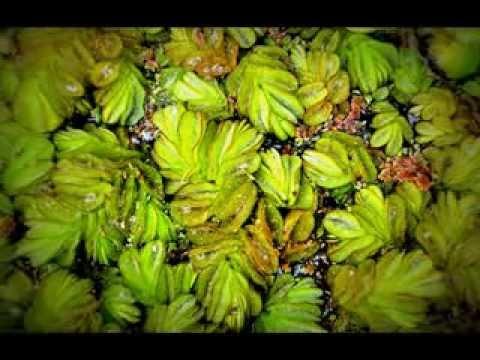 Plantas acu ticas wmv youtube - Plantas para estanques de jardin ...