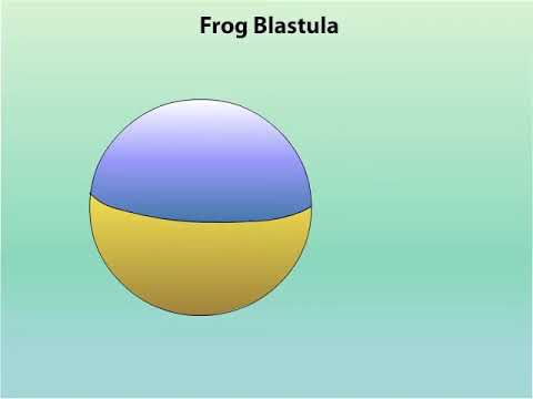 GASTRULATION OF AMPHIBIANS (FROG)