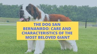THE DOG SAN BERNARDO: Care and Characteristics Of The Most Beloved Giant