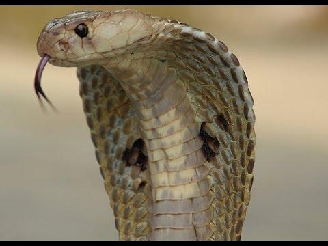 very dangerous cobra snake hd 1080p youtube