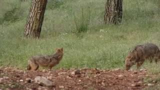 Природа и жизнь.Волки и  кабаны