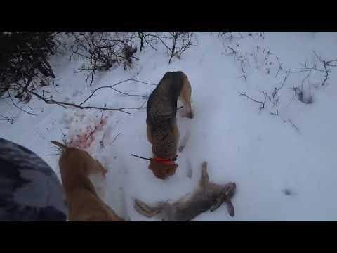 Охота на зайца с гончими  2019г 3
