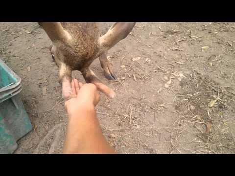 cute 8 month male deer @ bin jamil farm
