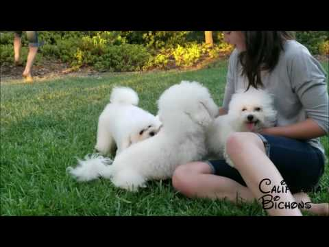 California Bichons