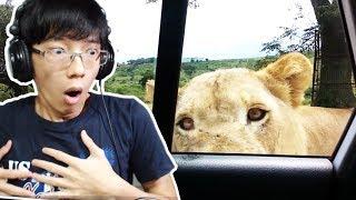 Sư tử mở cửa xe ôtô và cái kết rụng tim! (To be continued)