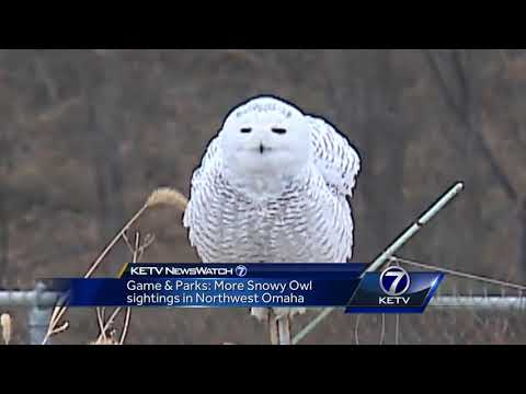 Game and Parks: More snowy owl sightings in Northwest Omaha